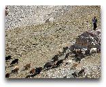 Таджикистан: Стадо овец