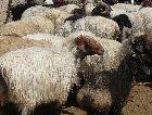 Туркменистан: Барашки Туркменские