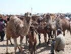 Туркменистан: Верблюды Туркменские
