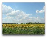 Украина: Украинская степь. Подсолнухи.