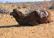 юртовый лагерь Aydar yurt camp: Верблюды для катания
