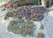 Узбекистан: общая информация, фото: Виноград для вина