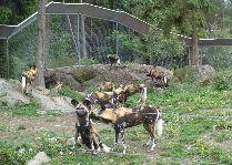 Зоо и сафари парк Kolmården: Гиены