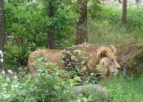 Зоо и сафари парк Kolmården: Лев