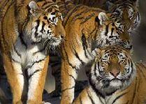 Зоо и сафари парк Kolmården: Тигры