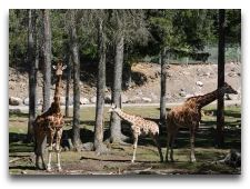 Зоо и сафари парк Kolmården: Жирафы