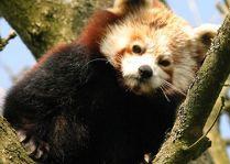 Зоопарк Гивскуд: Красная Панда
