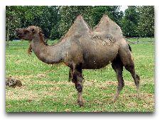 Зоопарк Гивскуд: Верблюд