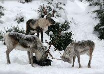 Tomteland -деревня Шведского Санта Клауса: Олени