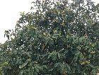 Батуми: Дерево Мушмала