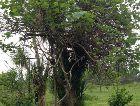 Батуми: Дерево Киви