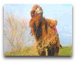 Нурата: Верблюд